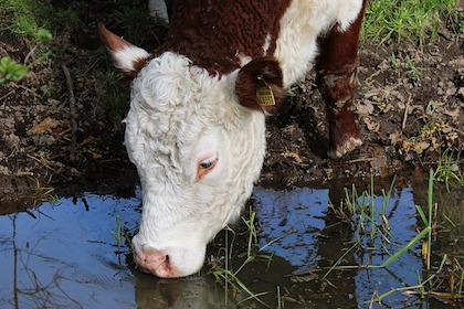cow drinks water